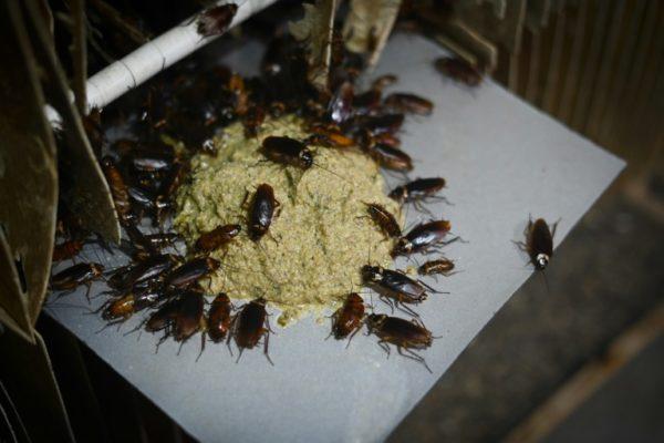 Cockroach-being-fed-in.jpg